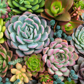 Sensitive Succulents