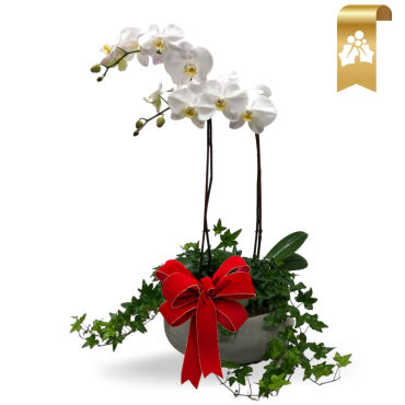 Christmas Orchid and Ivy